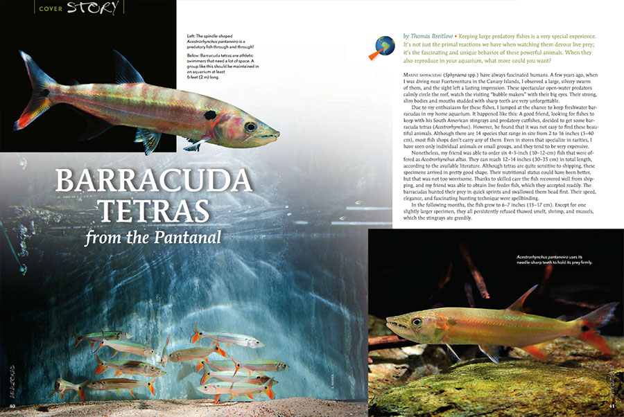 "Discover the keeping and breeding of Acestrorhynchus pantaneiro in ""Barracuda Tetras from the Pantanal"", as told by Thomas Breitlow."