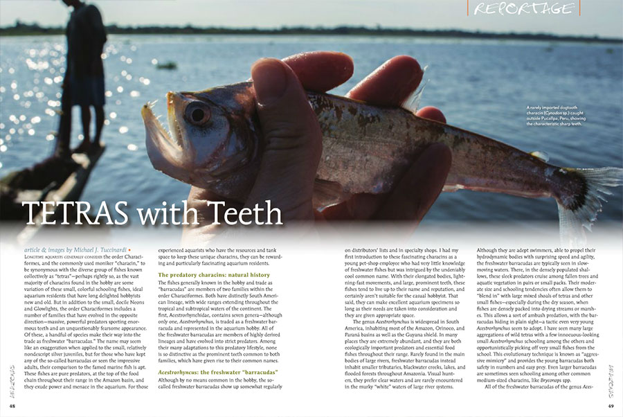 Tetras wit Teeth - Mike Tuccinardi examines two groups of predatory characins with heart-stopping dentition!
