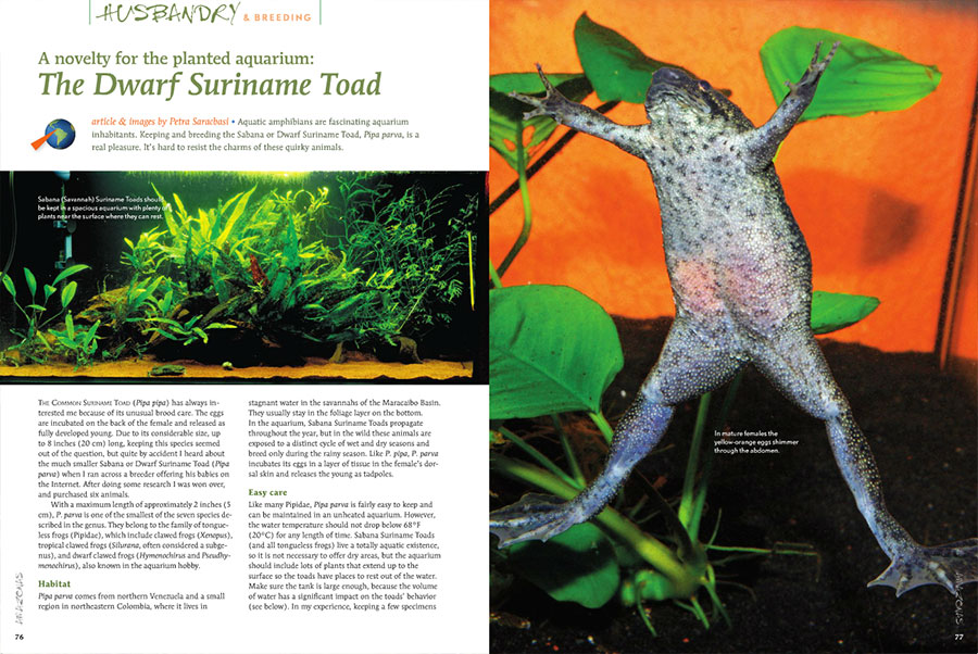 "Do not confuse them with the common ""Dwarf Aquatic Frogs"" you may be familiar with. Petra Saracbasi will introduce you to a novelty for the planted aquarium: The Dwarf Suriname Toad (Pipa parva)."