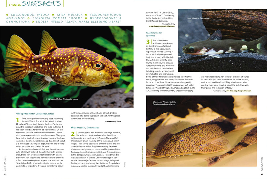 "This issue's ""Species Snapshots"" examines the Milk Spotted Puffer, Chelonodon patoca; the sly, nocturnal Ninja Woodcat, Tatia musaica; the moderately-sized Chameleon Whiptail Catfish, Pseudohemiodon apithanos; a notable mutation of the Leopard Frog Pleco, Peckoltia compta (aka. L134); the difficult to find Queen Moss, Hydropogonella gymnostoma; and a strikingly contrasting hybrid Endler strain, the Santa Maria Bleeding Heart Endler, originating from the breeding of Japan-based Kenichiro Tamura."