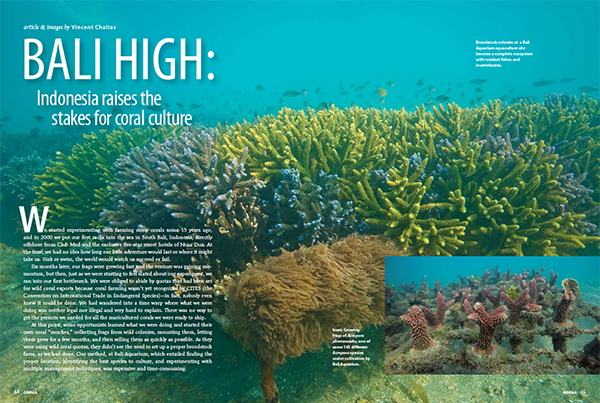 Thriving corals being farmed by Bali Aquarium in Indonesia. Image: Vincent Chalias.