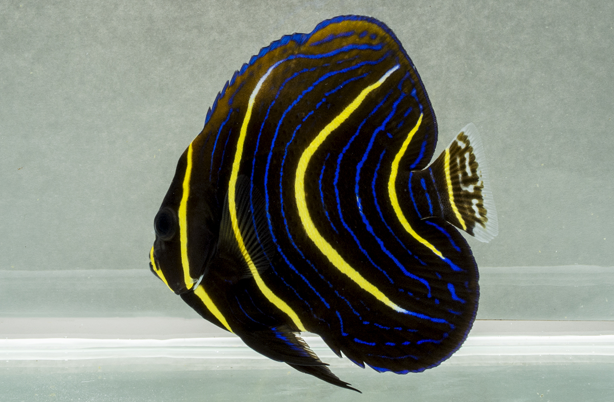 The colorful juvenile form of Cortez's Angelfish (Pomacanthus zonipectus)