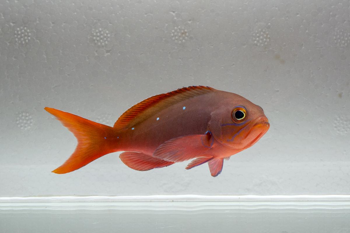 Ruby Red Creolefish or Paranthias, a deepwater schooling fish (Paranthias colonus)