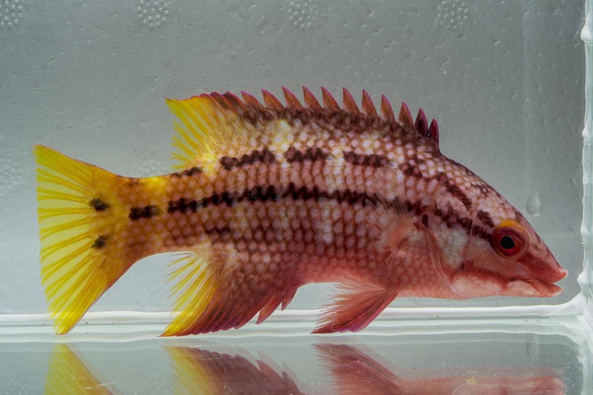 Cortez Hogfish (Bodianus diplotaenia)