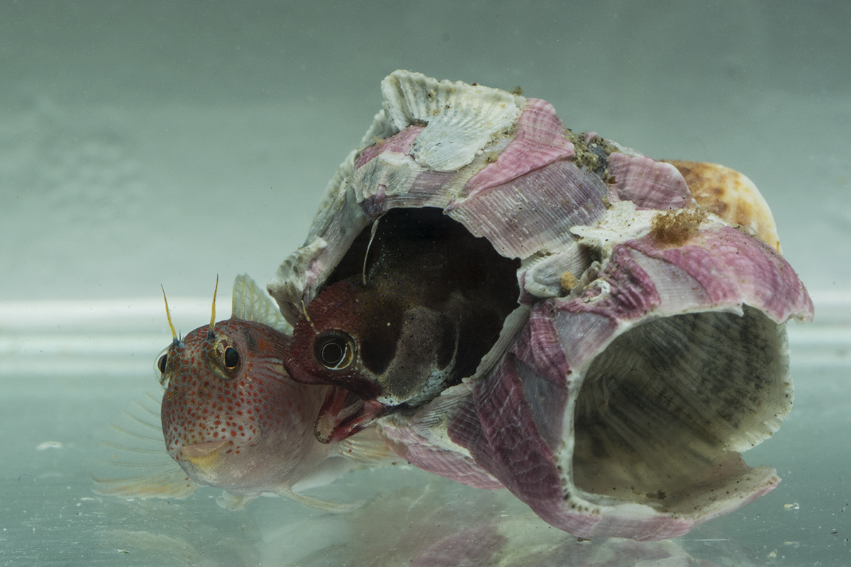 Two of the barnacle-dwelling blenny species commonly seen in shallow waters