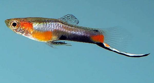 "Poecilia wingei: New wild-type ""Campoma Blue Star Endler"""