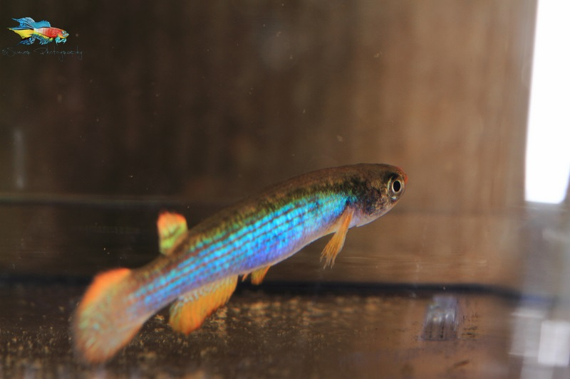Rivulus iridescens living upto its name.