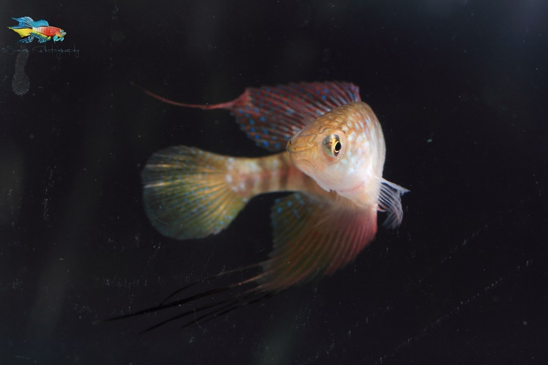 Spectrolebias filamentosus male.