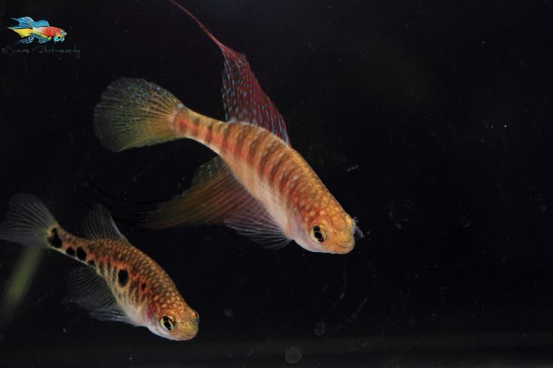 Spectrolebias filamentosus pair.