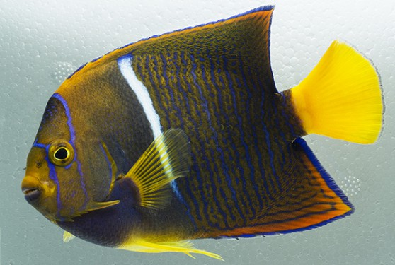 Passer or King Angelfish, Holacanthus passer, collected off the coast of Ecuador. Images by M. Tuccinardi.