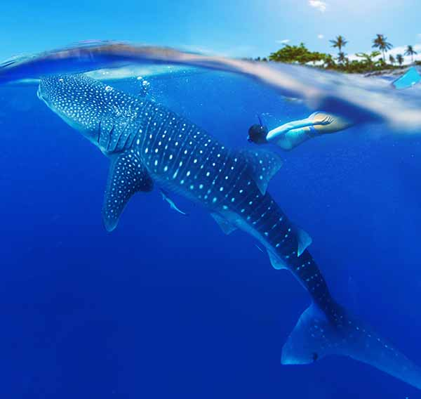 The world's largest fish and easily the biggest living non-mammalian vertebrate. Image: Shutterstock.