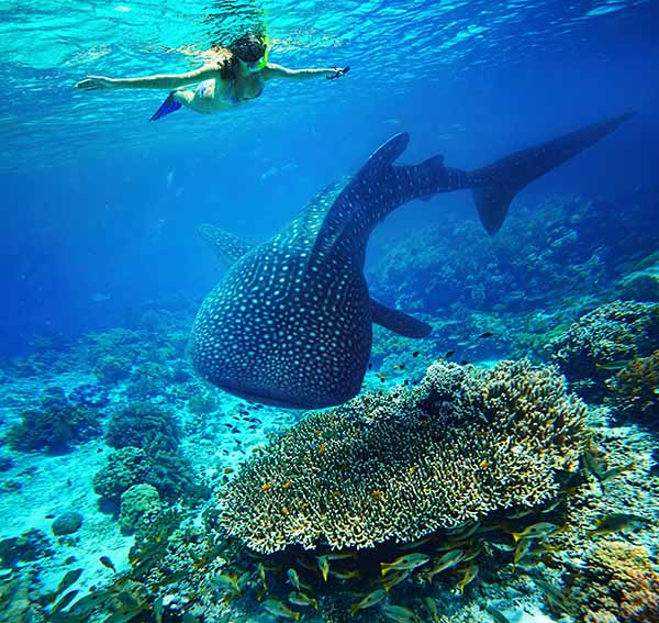 Whale Shark on reef 600px