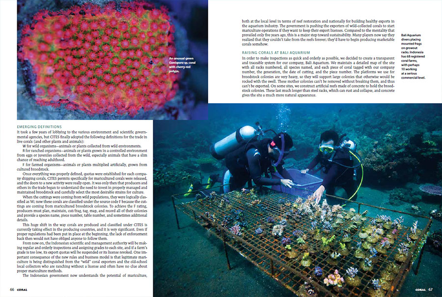 From the pages of CORAL Magazine: top left - An unusual green Goniopora sp. coral with cherry-red polyps. Main image - Bali Aquarium divers placing mounted frags on growout racks. Indonesia has 68 registered coral farms, with perhaps 10 working at a serious commercial level.