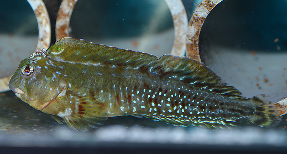 Male Molly Millers can really be a stunning fish if you give them a chance!