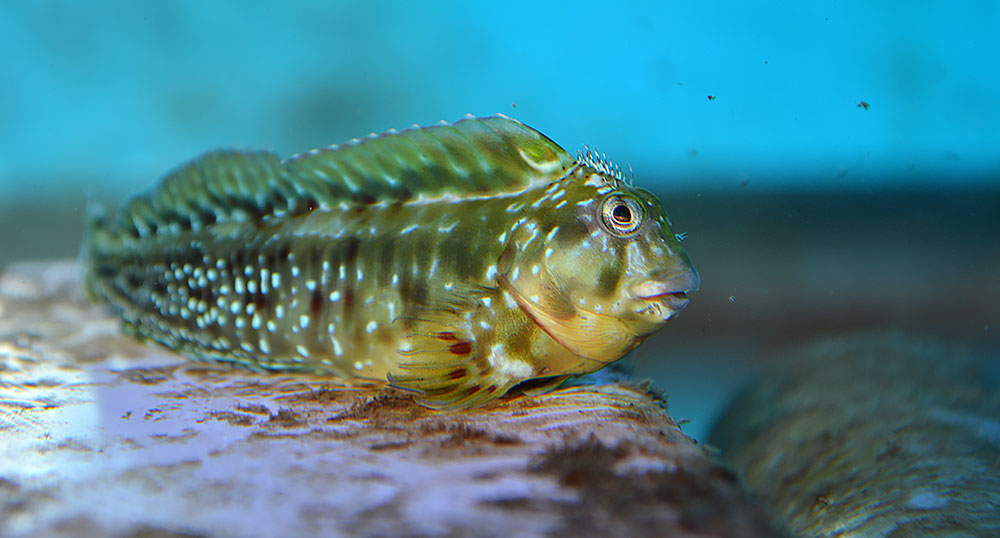 A male captive-bred Molly Miller stakes out his territory in a holding aquarium.