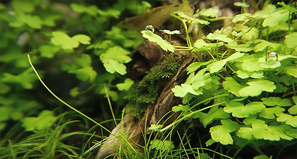 Amano Shrimp, Caridina japonica, lurking in the background (top center) prove that you dont' need gaudy invertebrates in your aquarium. These let the plants, along with the small, sometimes cryptic but brightly colored fish selections steal the show!