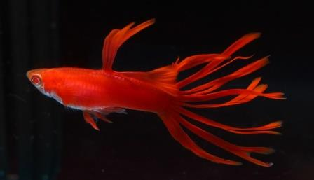 Full Red Crowntail (Merah), photo courtesy of China Guppy Club.