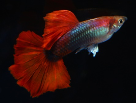 Half Black Red Halfmoon, photo courtesy of China Guppy Club.