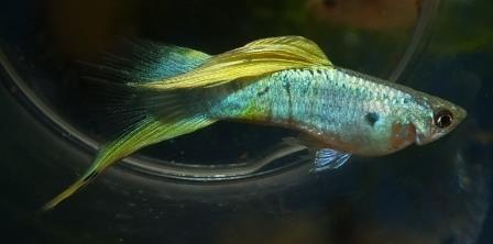 Lowersword Guppy, bred by Alan S. Bias