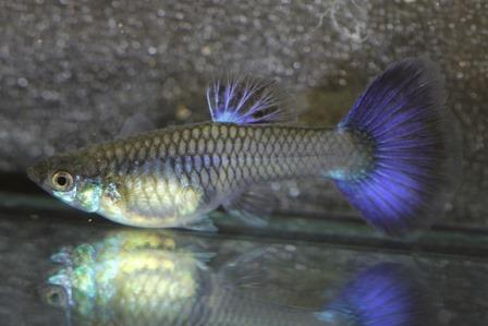 Purple Delta Female, photo courtesy of Hermann Ernst Magoschitz.