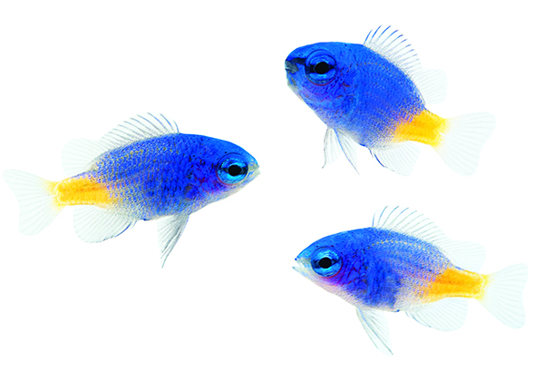 ORA Yellowtail Damselfish juveniles, aquacultured and still developing adult coloration. Image: Renee Hunter/ORA.