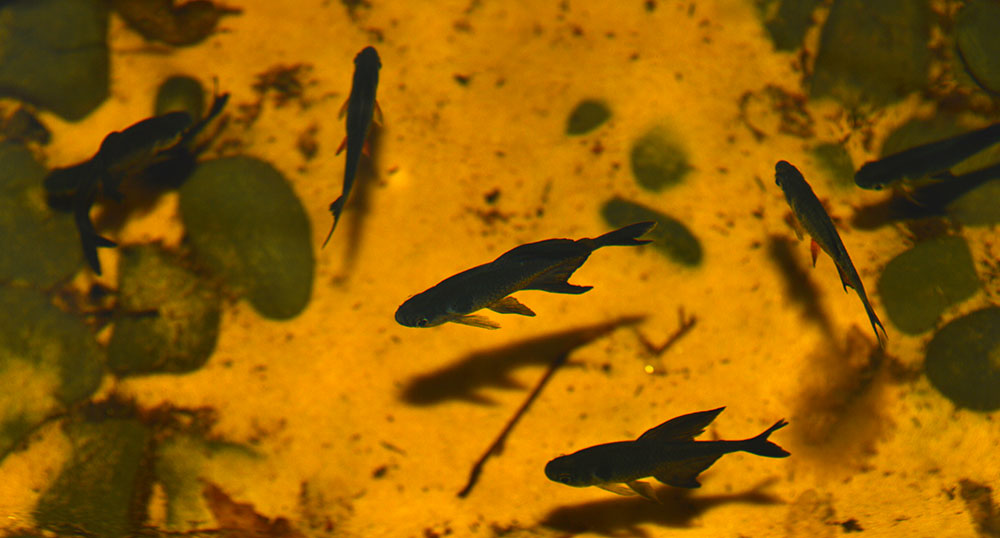 A close-up look at the Black Phantom Tetras in the shelf container pond; females can be differentiated from above by their shorter fins and red pelvic and ventral fins.