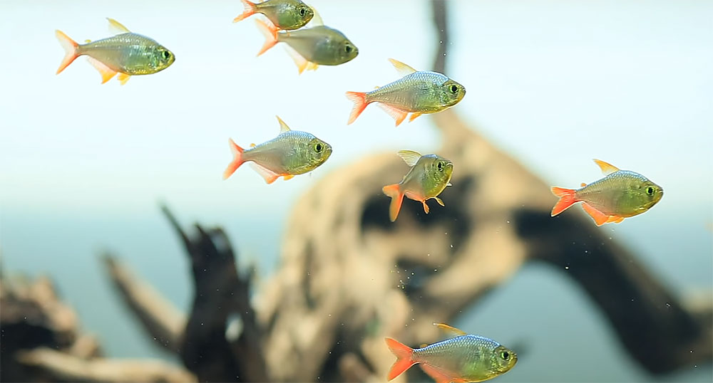 Columbian Tetras, Hyphessobrycon columbianus, are a focal point in Norbert Sabat's aquascape.