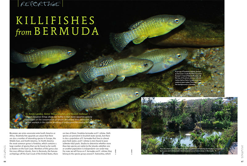 """One of the great things about our hobby is that many aquarists actively participate in the conservation of species threatened with extinction. A prime example is the captive-breeding of endangered Bermudian killifishes."" Anton Lamboj, Anton Weissenbacher, and Roland Halbauer share their progress in the latest issue of AMAZONAS."