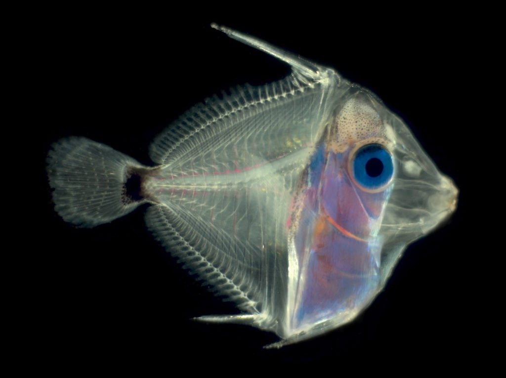 Pacific blue tang (Paracanthurus hepatus) , 33dph. Approximately 7m long. Body development continues. Black coloration present at the peduncle. Image courtesy of the UF IFAS Tropical Aquaculture Laboratory