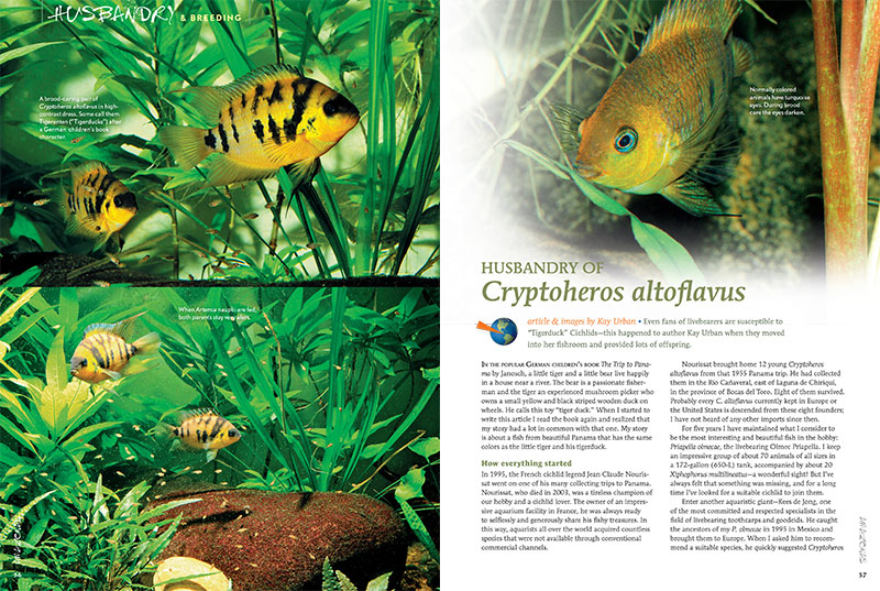 "Even fans of livebeares are susceptible to ""Tigerduck"" Cichlids—this happened to author Kay Urban when they moved into her fishroom and provided lots of offspring. Learn more about the husbandry of Cryptoheros altoflavus in the latest issue of AMAZONAS."