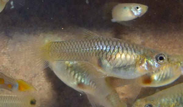 Flavis (Fla) Female