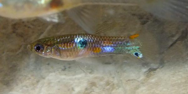 Reflective Dorsal Spot Male