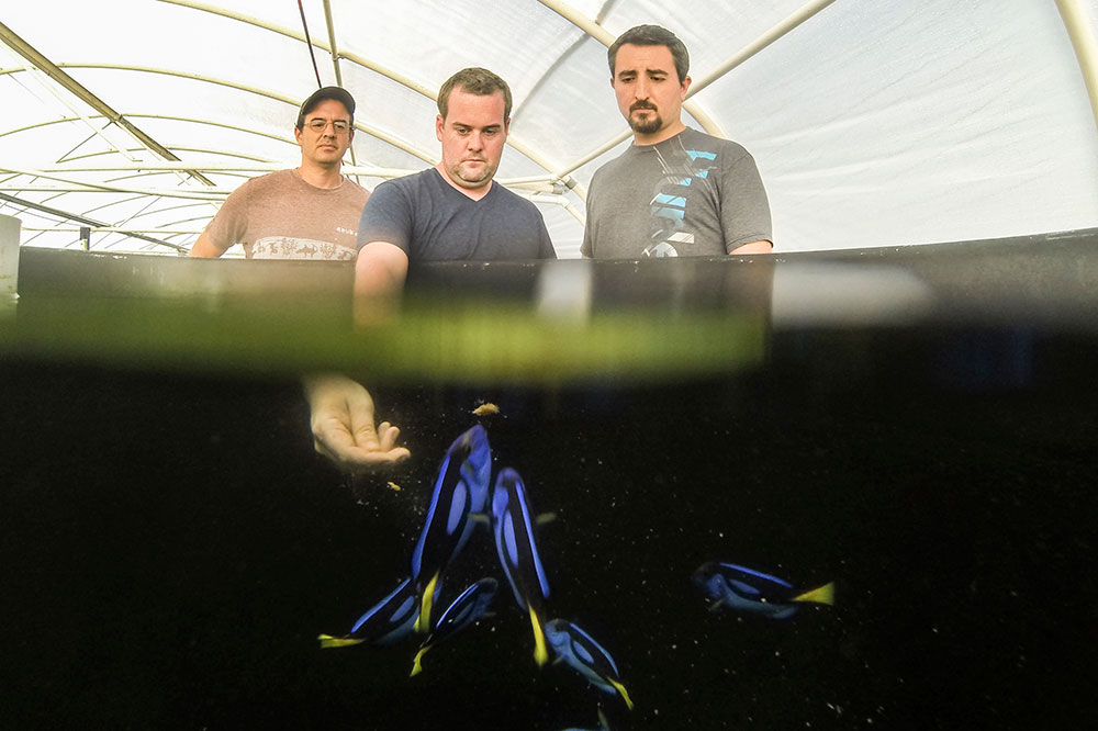 Three members of the Tropical Aquaculture Lab Team with Pacific Blue Tang broodstock. From left to right; Eric Cassiano, Kevin Barden, Dr. Matt DiMaggio