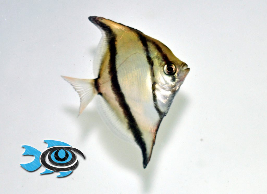 A young captive-bred Mono Sebae, ready for retail sale. Image courtesy FishEye Aquaculture.