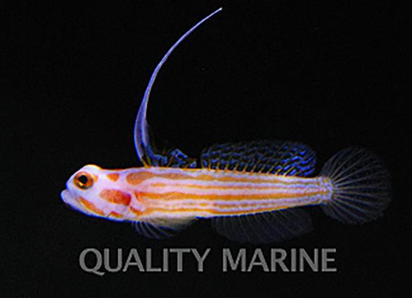 Quality Marine debuts commercial availability of captive-bred Yasha Goby, Stonogobiops yasha.