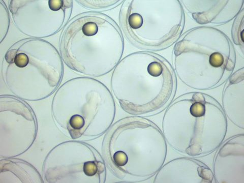Pacific Blue Tang (Paracanthurus hepatus) eggs collected from broodstock at the Tropical Aquaculture Lab. Egg diameter approximately 750um. All lipid droplets are eccentric. Image courtesy of the UF IFAS Tropical Aquaculture Laboratory