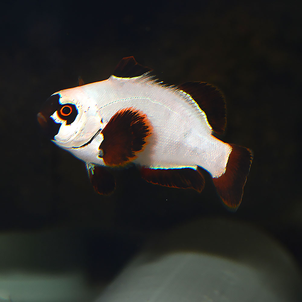 A juvenile Gold Nugget Maroon Clownfish, reared by Proaquatix, shows the white coloration of juveniles.