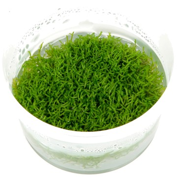 Tropica tissue-cultured Riccia fluitans can be grown submerged or as a floating plant to offer protection to young fish. Image Credit: Tropica
