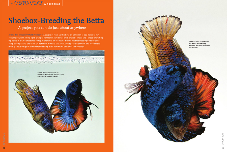Shoebox-Breeding the Betta, opening spread from the January/February 2016 issue of AMAZONAS Magazine - Winning BETTAS