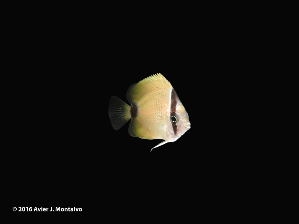 The world's first captive-bred Lemon Butterflyfish, Chaetodon miliaris, shown off by Avier J. Montalvo, Oceanic Institute at Hawaii Pacific University, and Rising Tide Conservation. Only 88 days post hatch!