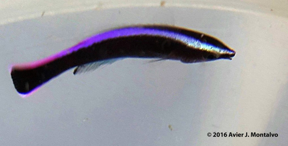 There is a single mated pair in the entire mix species tank. But that pair produced an egg that produced a larva that turned into this fish. This fish is the first of its kind to be reared in captivity, and it has significant implications for the conservation Pictured here at 91 dph, the juvenile had exhibited the narrow mouth, pointed head, and bright colors characteristic of this cleaner species. The multi-colored stripe had changed to resemble the distinctive purple coloration found on the adults, and the dark colored body was now jet black.