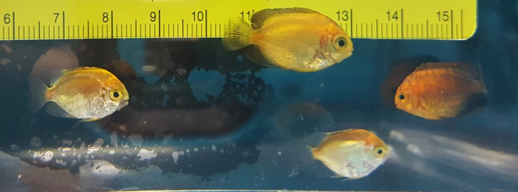 Settled captive-bred Potter's Angelfish starting to transform into juvenile coloration at 62 days post hatch.