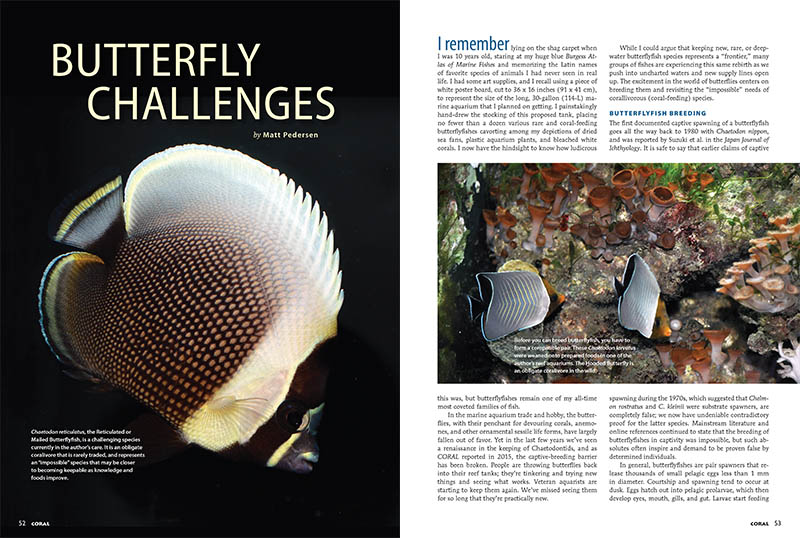 Matt Pedersen reports on the cutting edge of Butterflyfish husbandry: captive-breeding and tackling the most challenging species in the family.