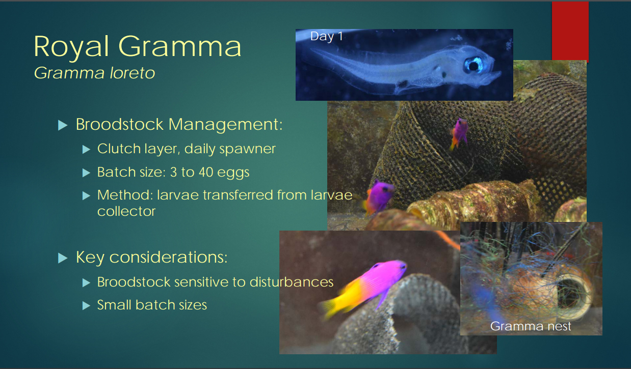 A glimpse into the aquaculture of the Royal Gramma, Gramma loreto