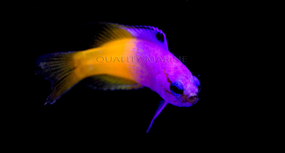 Captive-bred Royal Grammas, Gramma loreto, make an appearance at Quality Marine
