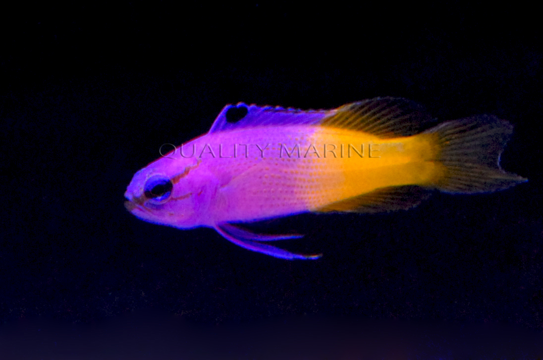 Another look at a captive-bred Royal Gramma