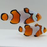 New Salva Dali Clownfish (Amphiprion Percularis (Dv/+)) from Sustainable Aquatics