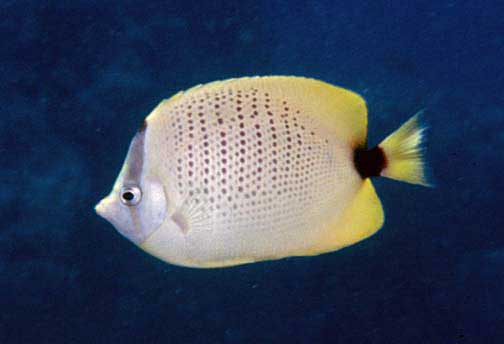 An adult Chaetodon miliaris, the Milletseed or Lemon Butterflyfish - image by National Parks Service, Public Domain