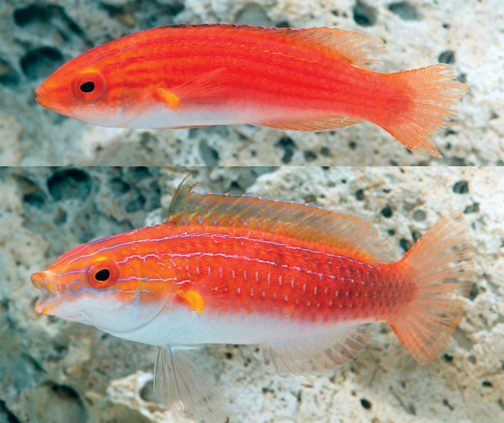 Females / Juveniles of the newly described Monsoon Fairy Wrasse are mainly red. Photo Credit: Michael Hammer with the Museum and Art Gallery of the Northern Territory.