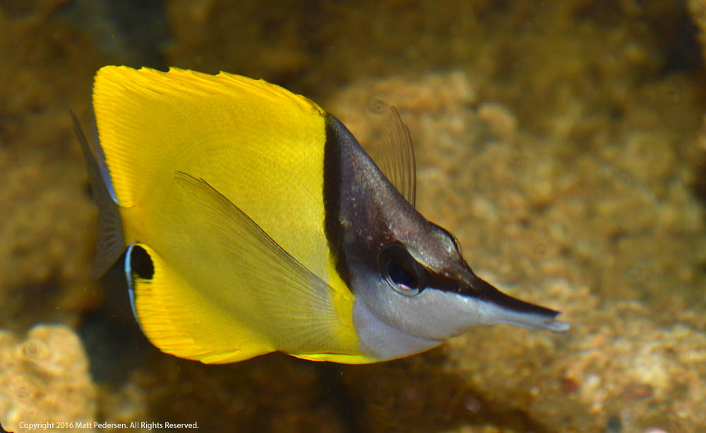 "The Yellow Longnose Butterlyfish, Forcipiger flavissimus, is one of the ""bread and butterflies"" still readily available in the aquarium trade, and generally seems to settle into captivity well."